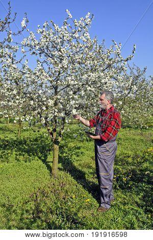 Farmer Analyzes Flower Cherry