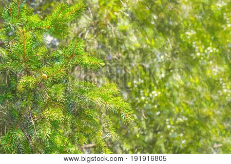 spruce branches on a blurry background with bokeh effect