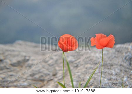 Two red isolated poppies, macro and closeup photography