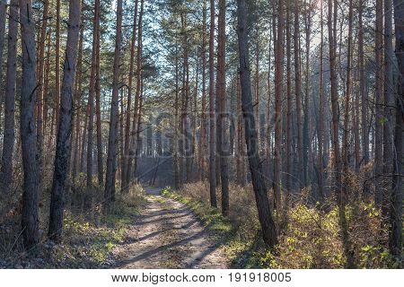 Pine forest in the winter with small road