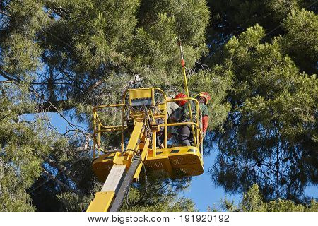 Tree work pruning operations. Crane and pine wood forest