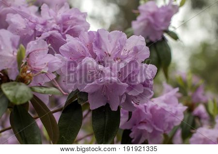 Rhododendron beautiful flower. Latvian University Rhododendron nursery