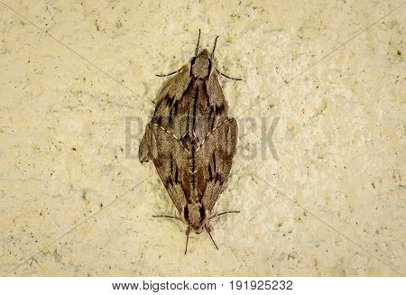 Two butterflies or moths mate on concrete wall background. Insects are having sex on a house wall - animal reproduction.