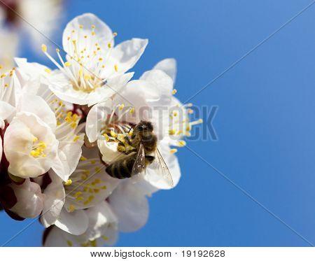 honeybee, cherryblossom