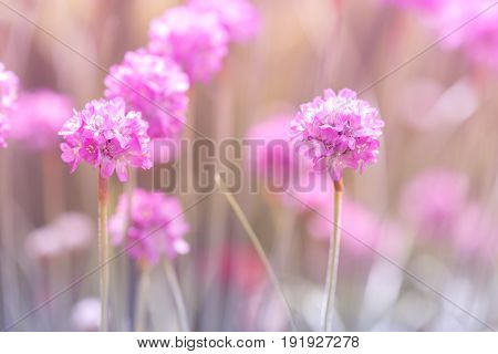 Little pink thrift flowers on a gentle background.