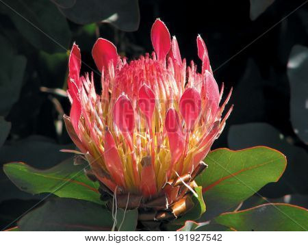 PROTEA, FOUND IN WESTERN CAPE, SOUTH AFRICA 24onff
