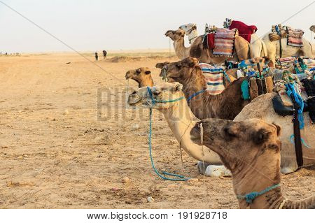 Camel or dromedary saddled for ride during ethnic tour in Tunisia