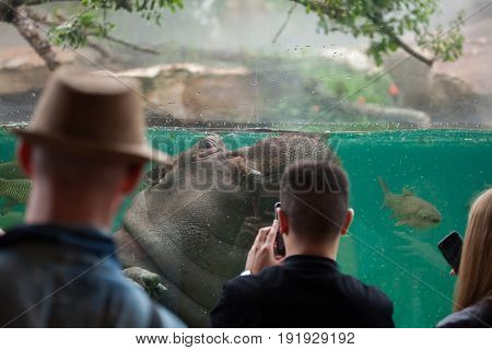 SAINT-AIGNAN, FRANCE - JUNE 30, 2016: Visitors look as the hippopotamus (Hippopotamus amphibius) swimming at Beauval Zoo in Saint-Aignan sur Cher, France.