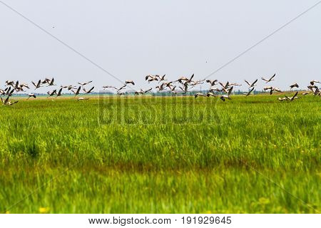 A Huge Flock Of Storks Flies Up