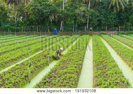 Vegetable Plantation In Vietnam