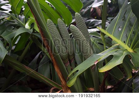 Monstera deliciosa leaves. Exotic rugged big green rainforest plant with fruits
