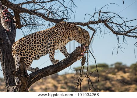 The concept of exotic and extreme tourism. An spotted African leopard climbed a tree. The pieces of meat for him are laid out on the branches. Travel to Namibia. Leopard feeding