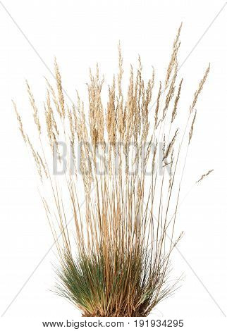 Tussock Of Dry Grass With Panicle