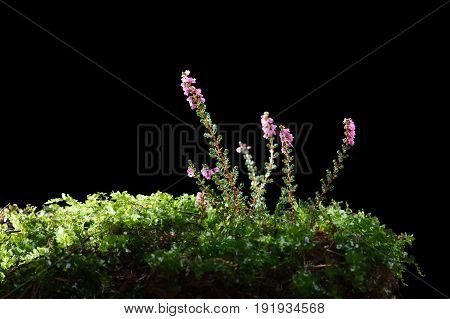 Blossoming Heather (calluna Vulgaris)