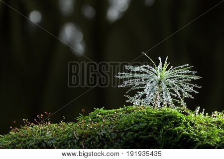 Shining Drops On Tiny Fir Tree