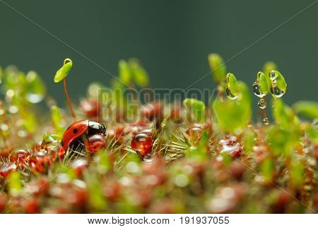 Ladybird And Rain Drops On Moss