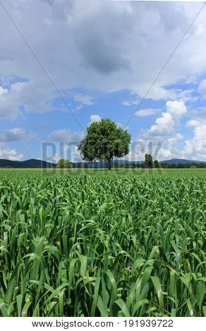 lonely tree in corn field on cloudy sky background
