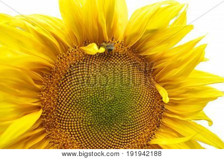 close up of bee Collects nectar on sunflower sumer sunny day isolated