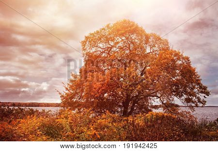Old elm tree in autumn colors on lake shore afternoon
