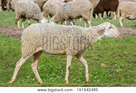 side view of sheep walking in the ground