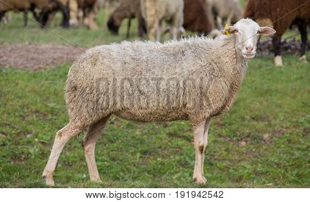 side view of sheep in the ground looking at camera, focus on eyes