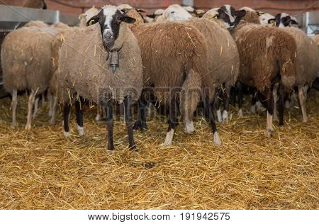Brave sheep looking at camera inside Livestock Buildings