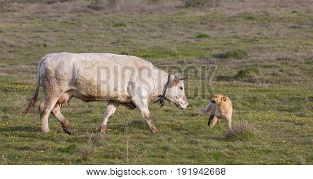 Detailed view of white cow and sheepdog clash