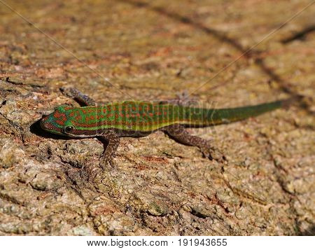 Day gecko (gekko) resting on tree bark
