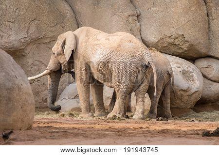 African elephant with a cute elephant calf
