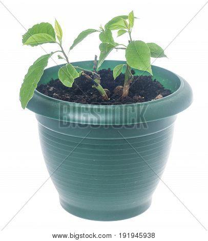 Two Avocado Plants