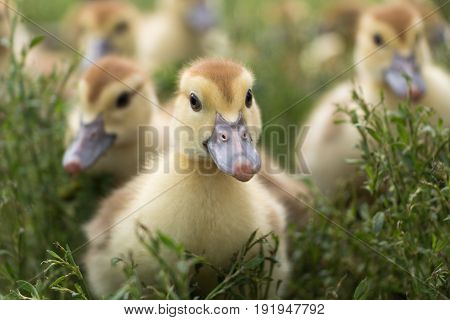 Cute little ducklings on the green grass