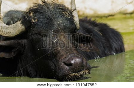 The African buffalo or Cape buffalo (Syncerus caffer).