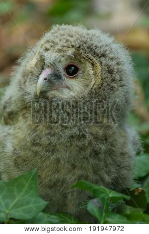 Portrait child Ural owl (Strix uralensis). Portratit baby owl in nature.