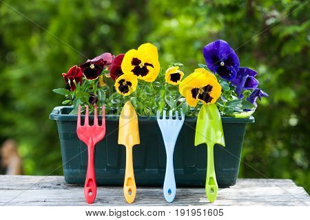 Pansies in the flower pots. Garden tools and flowerpot on the background of a green garden. Gardening and flower