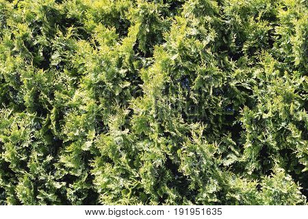 Prickly Green Fir Needles Wall Texture Background
