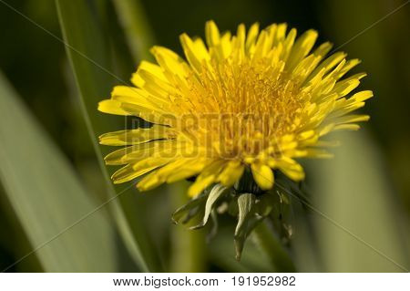 Close up of Dandelion weed with yellow flower head
