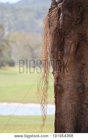 soft dried grass hanging from a tree trunk A long string of dried grass hangs from a tree trunk, with blurred green background