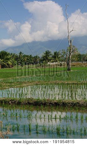Newly planted rice stalks in the fields, portrait A portrait view of rice paddies with rows of newly planted rice stalks