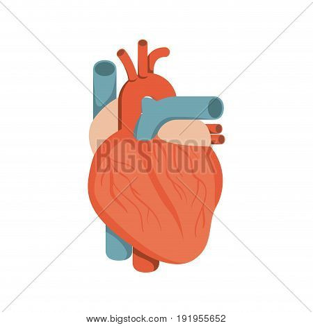 colorful silhouette heart system human body vector illustration