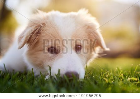 Portrait of cute puppy in park at sunset, adorable dog pet purebred canine pedigree border collie
