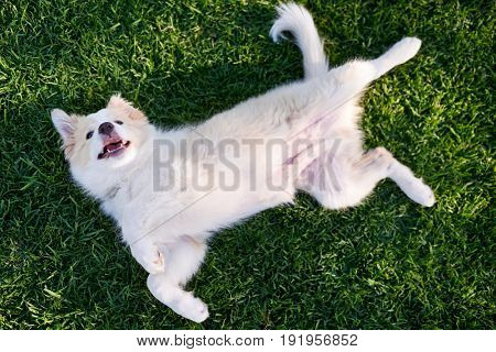 Overhead view of puppy dog on green grass, rolling on back belly up in submissive pose