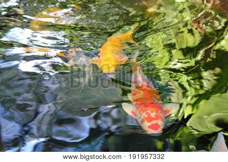 Red and gold koi fish in a pond Huge red and yellow koi fish swimming in an outdoor pond