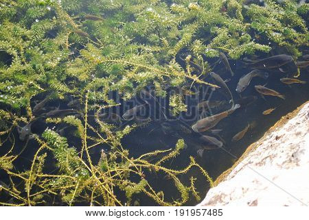 Black guppy fish swimming in a pond with weeds Numerous guppy fish gracefully swimming in an outdoor pond with green weeds