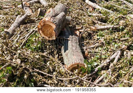 Summer. Sunny day. On the ground lie branches trunk and poplar leaves. Color green brown black yellow gray white