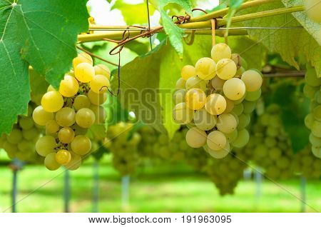 White Grape Vine