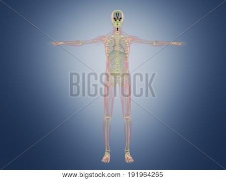 Human Anatomy X Ray 3D Render On Blue