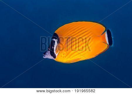 Weible's Butterflyfish (chaetodontidae Weibeli)