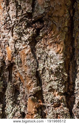 Texture of pine bark photographed close up