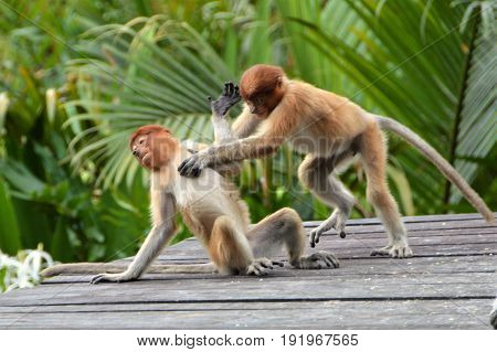 Young Proboscis monkeys playing in Borneo, Sabah, Malaysia