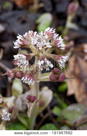 Petasite pyrenaicus flowers. Butterbur plant. Coltsfoot sprouts herb